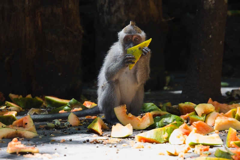 Monkey eating fruit at monkey forest ubud - Where to eat in Bali
