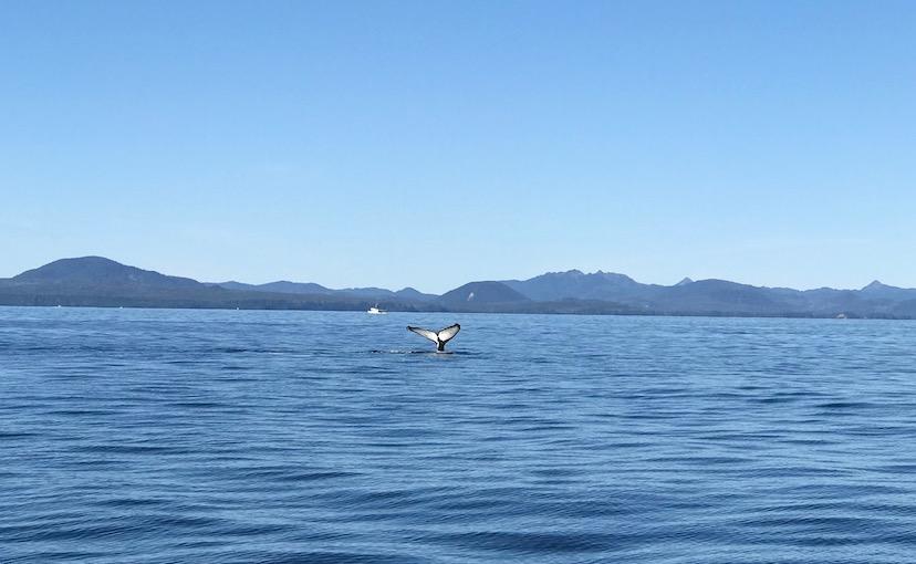 Humpback whale tail in Sitka Alaska