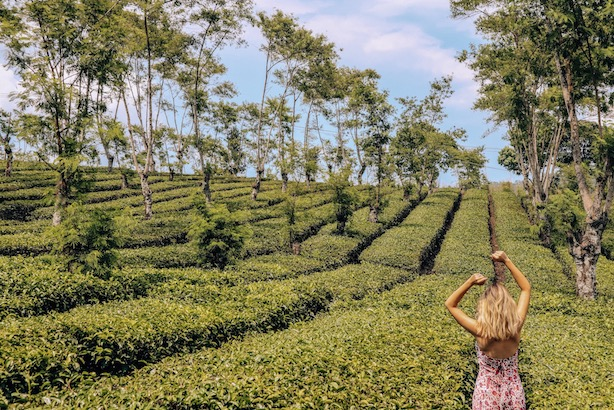 tea plantation in malang java kashlee kucheran