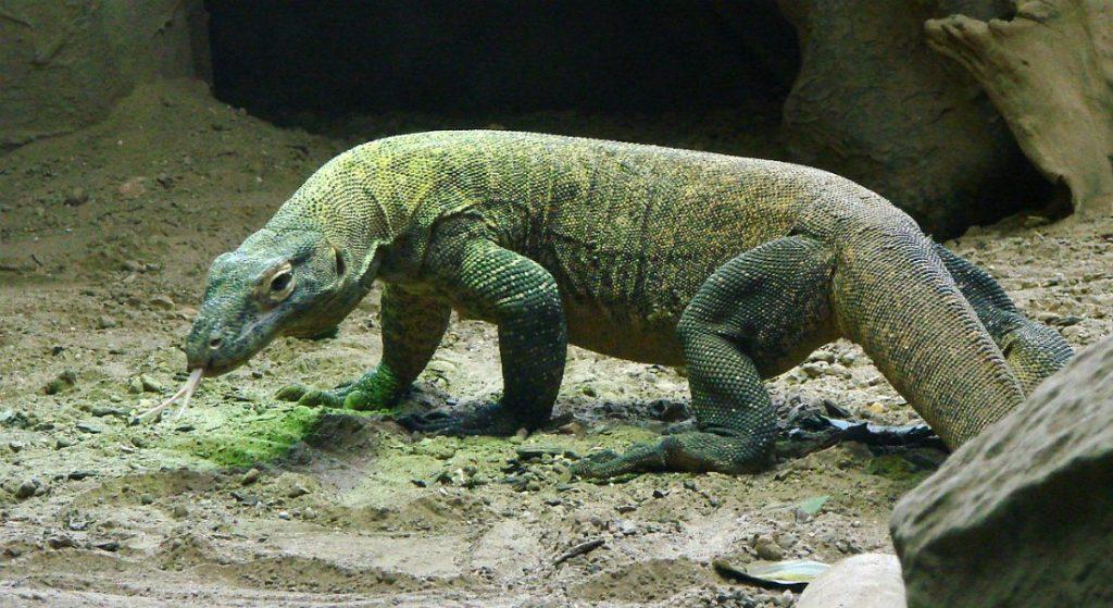 Komodo dragons stolen