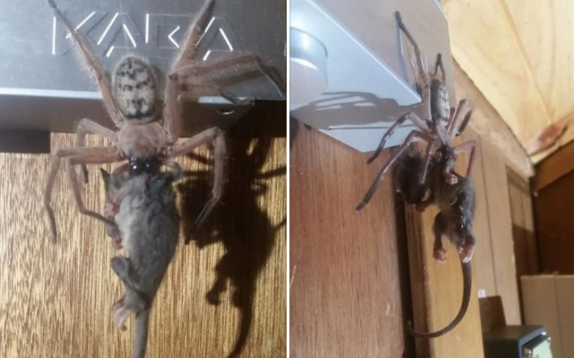 Spider eats Possum in SKi Lodge Hotel Room (1)