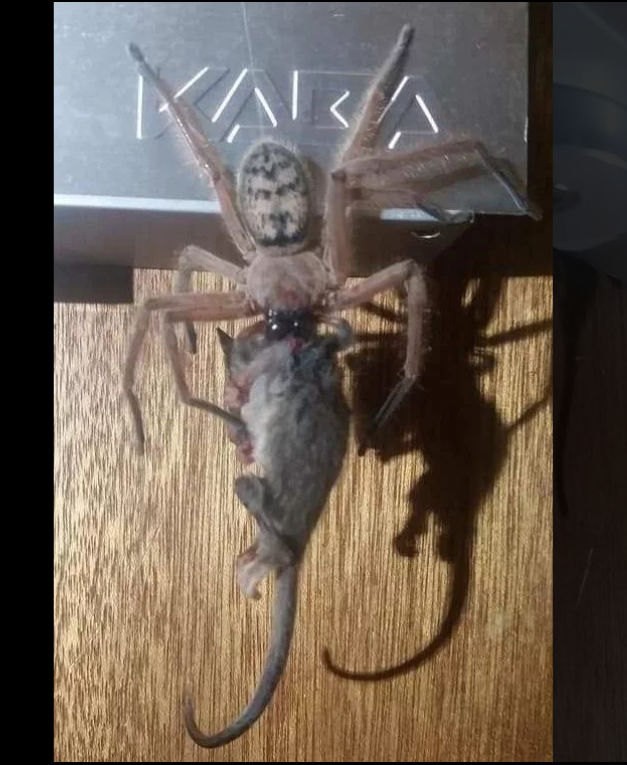 massive spider eats possum