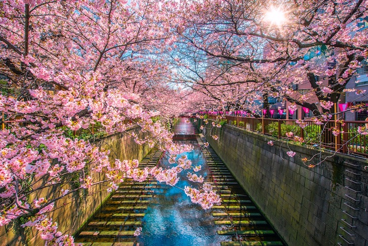 Visit japan during Sakura - cherry blossom season
