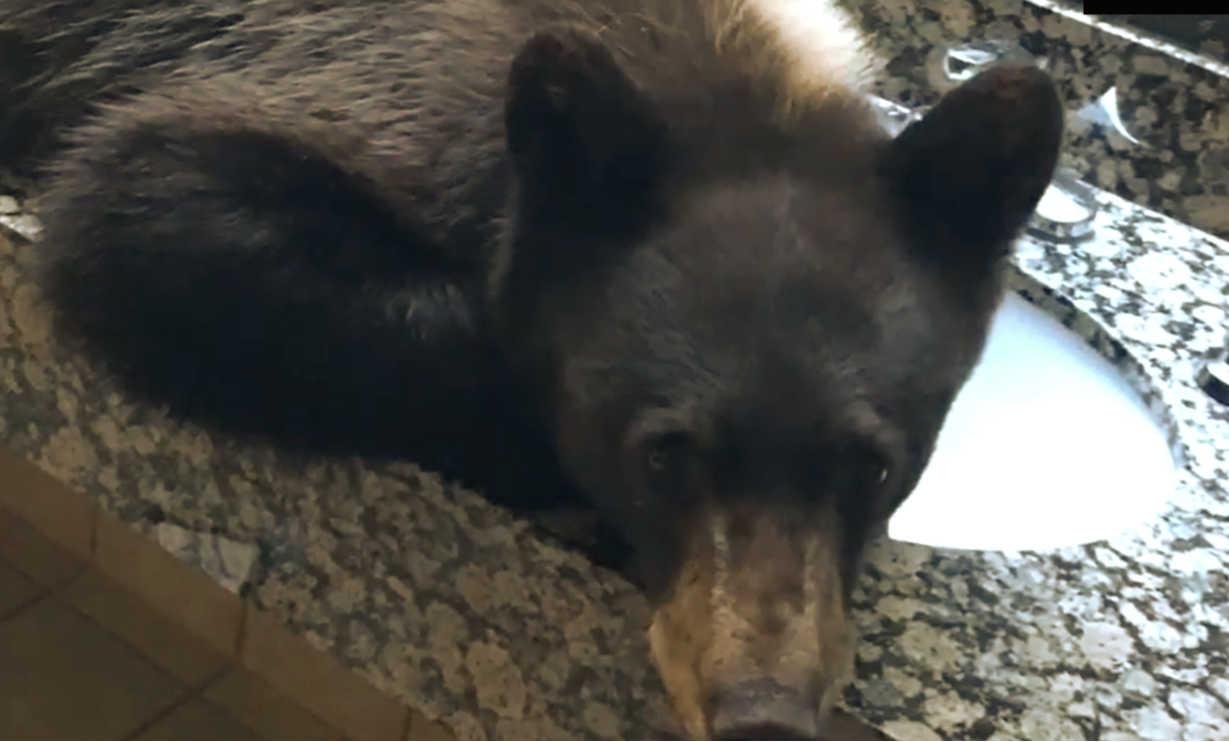 Black Bear Invades a Hotel washroom Montana Lodge and has a nap