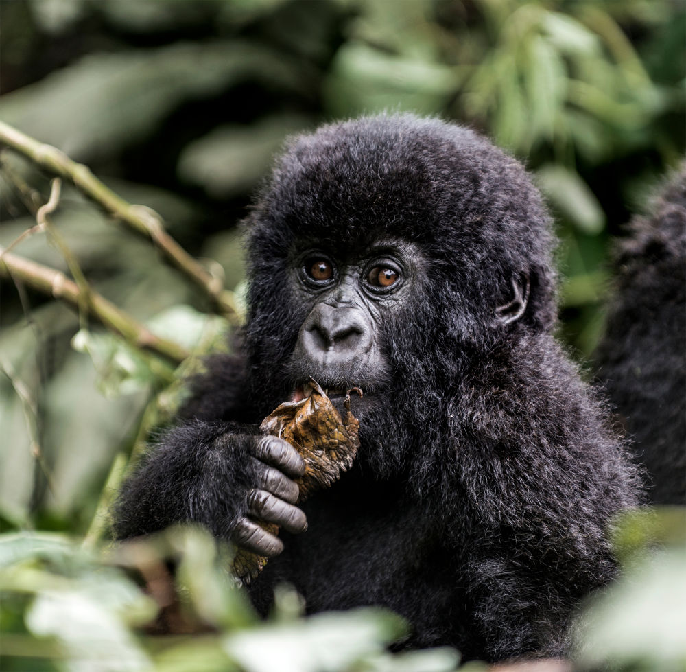 Tourists Obsession With Gorilla Selfies Infecting Them With Deadly Diseases