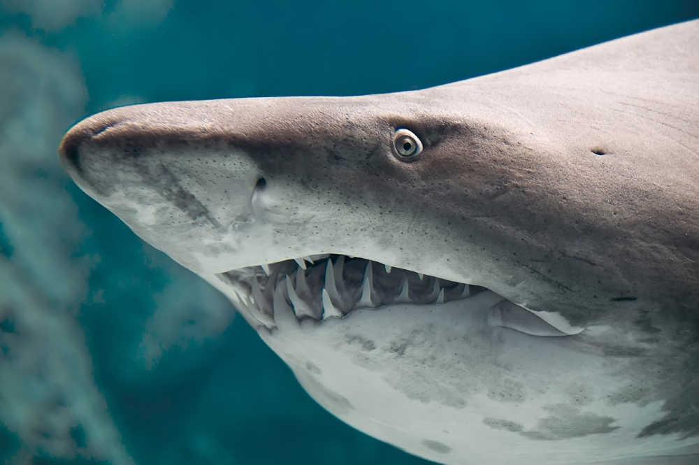 Shark fish closeup taken through the glass of aquarium.