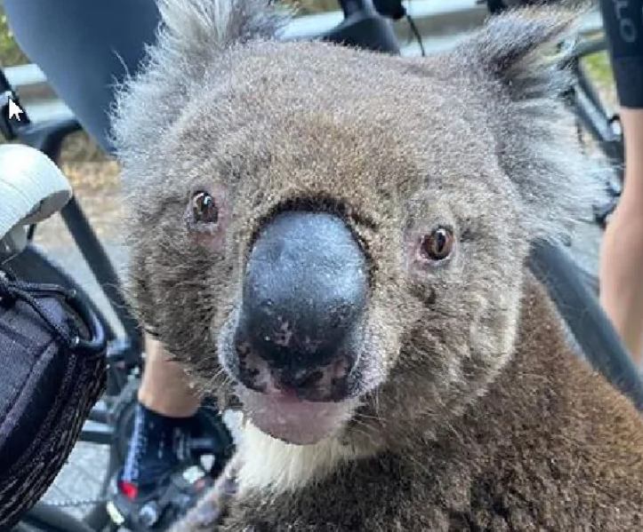 Incredible Video Of A Thirsty Koala That Stopped An Australian Cyclist