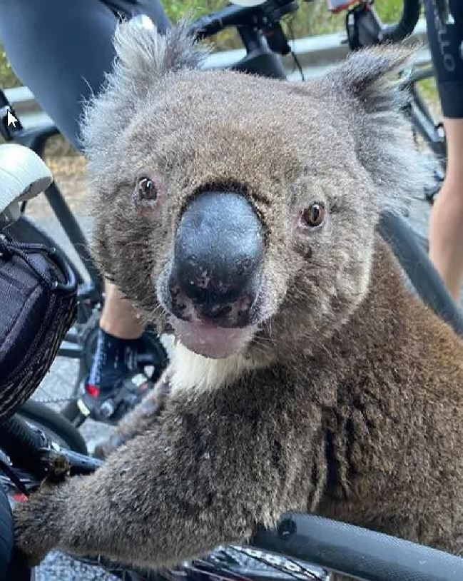 koala climbs on bike