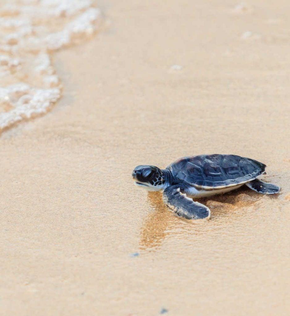 Sea turtle rescue program