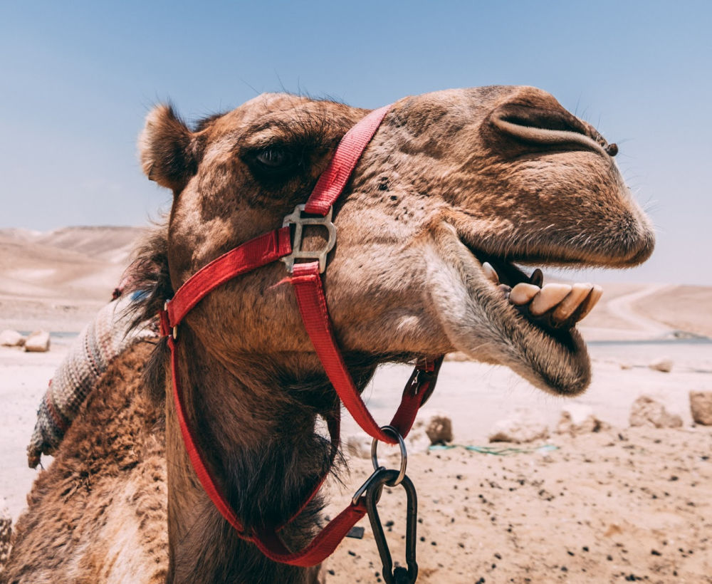 American Woman Sues TripAdvisor After Falling Off Camel In Morocco