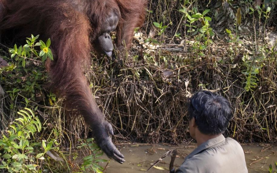 Heartwarming Moment Orangutan Reaches Out Hand To Man He Thinks Is In Trouble