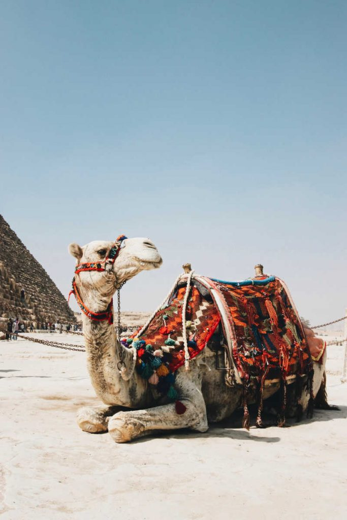 Camel beside pyramid in egypt
