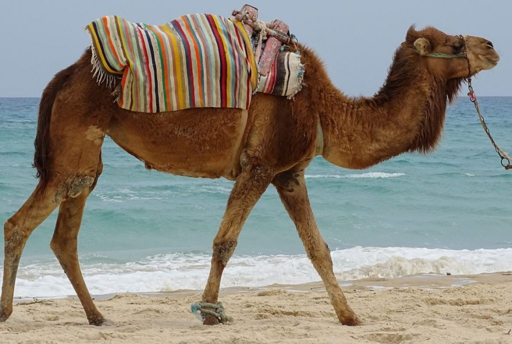 Camel on Tunisia Beach