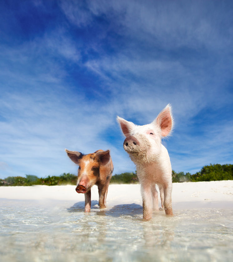 Two swimming pigs in Exuma, Bahamas on the beach