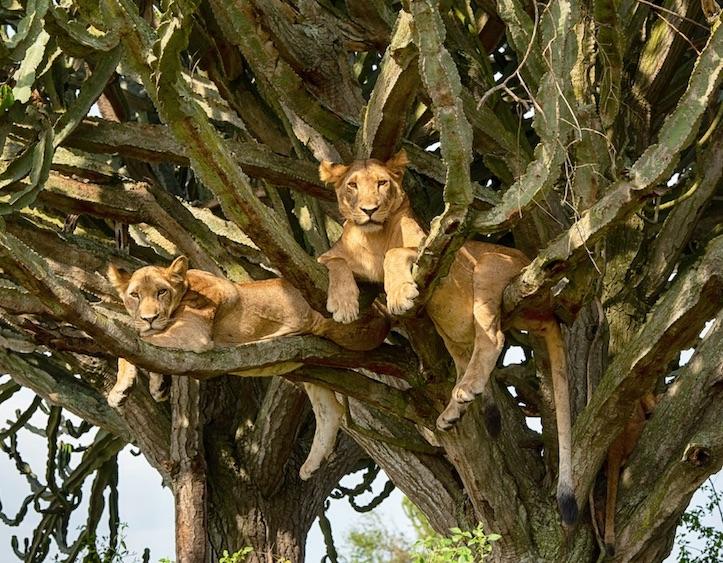 lions in Queen Elizabeth National Park, Uganda