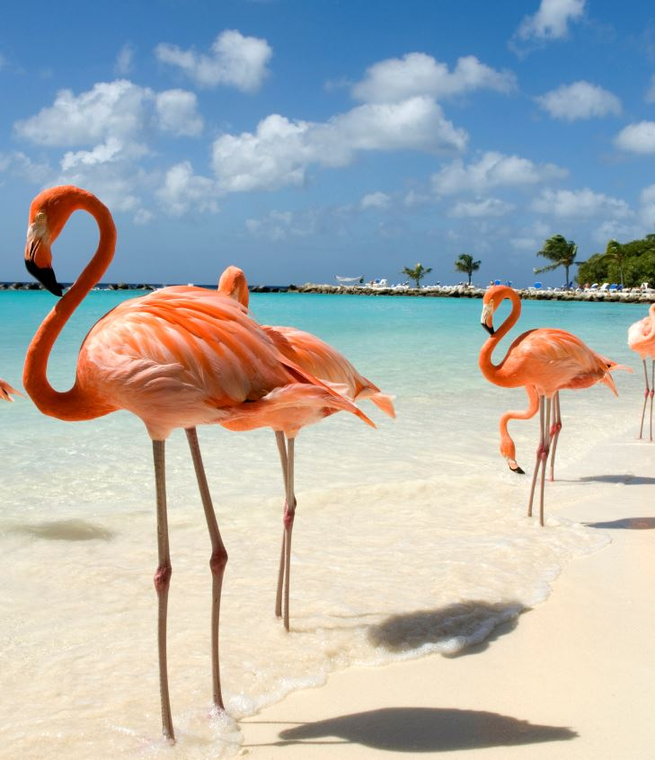 Aruba pink Flamingos on beach
