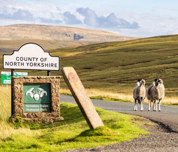 sheep north yorkshire dales