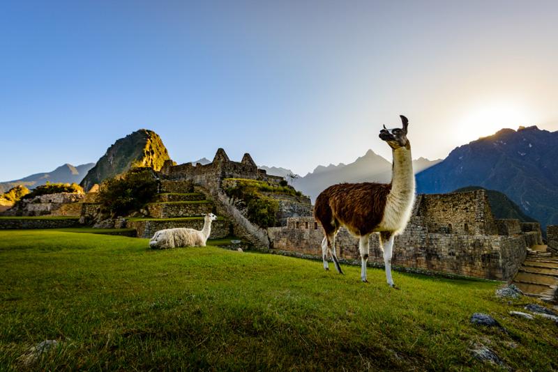 Llamas sitting by Machu Picchu, Peru.