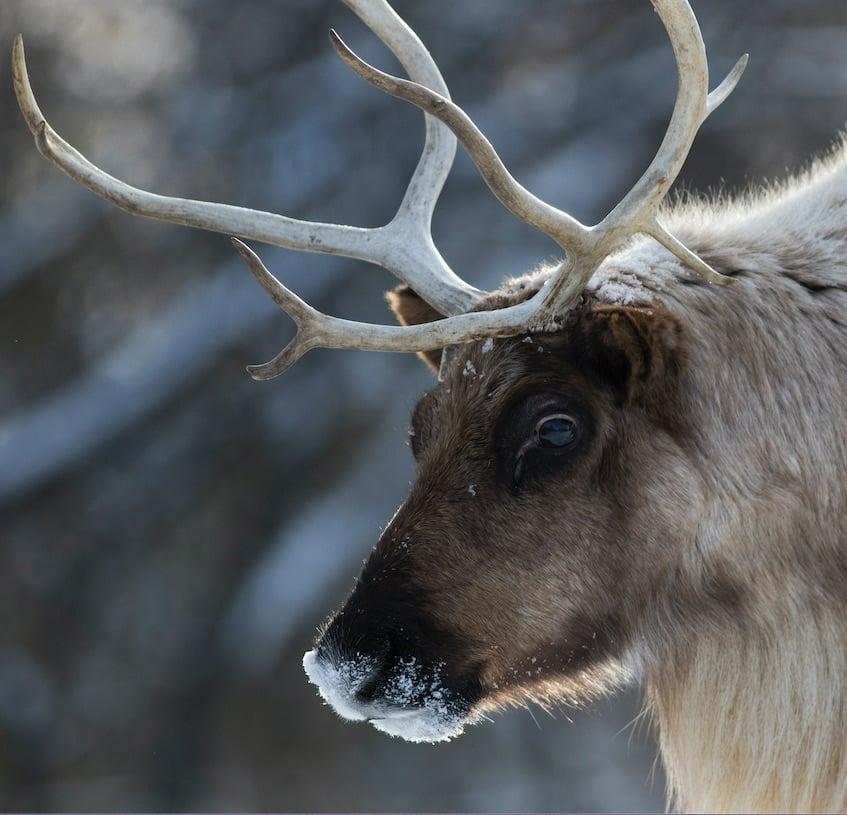 reindeer caribou animal winter