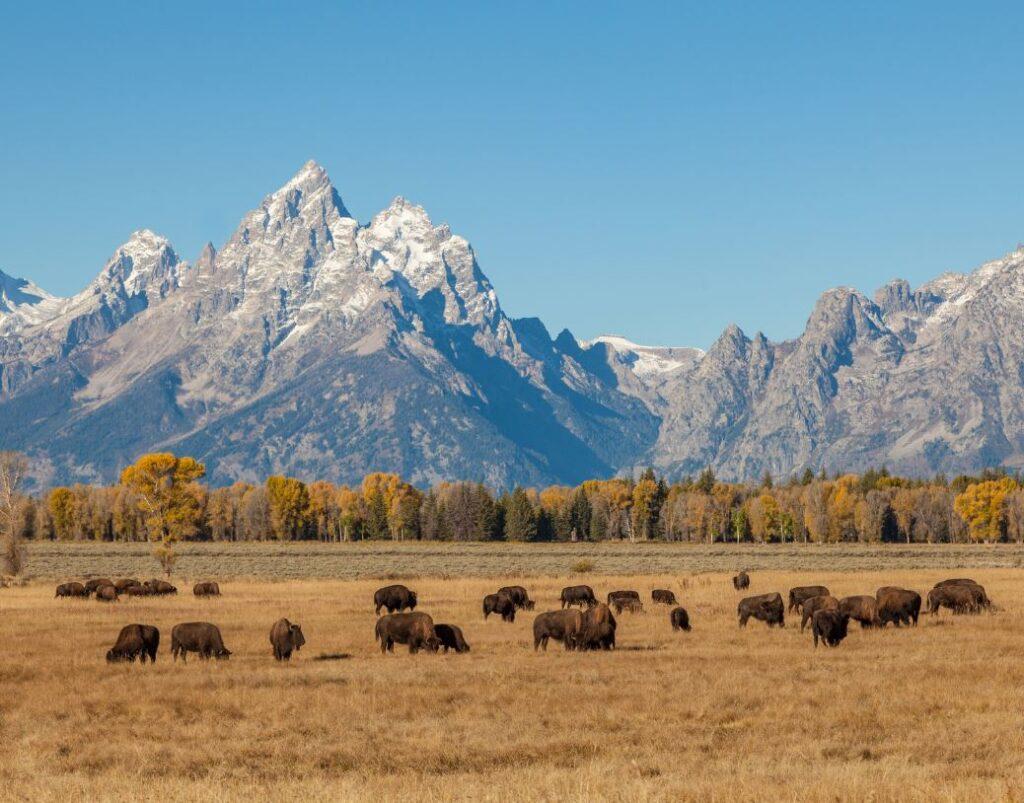 Mountains and bisons, Grand Teton NP