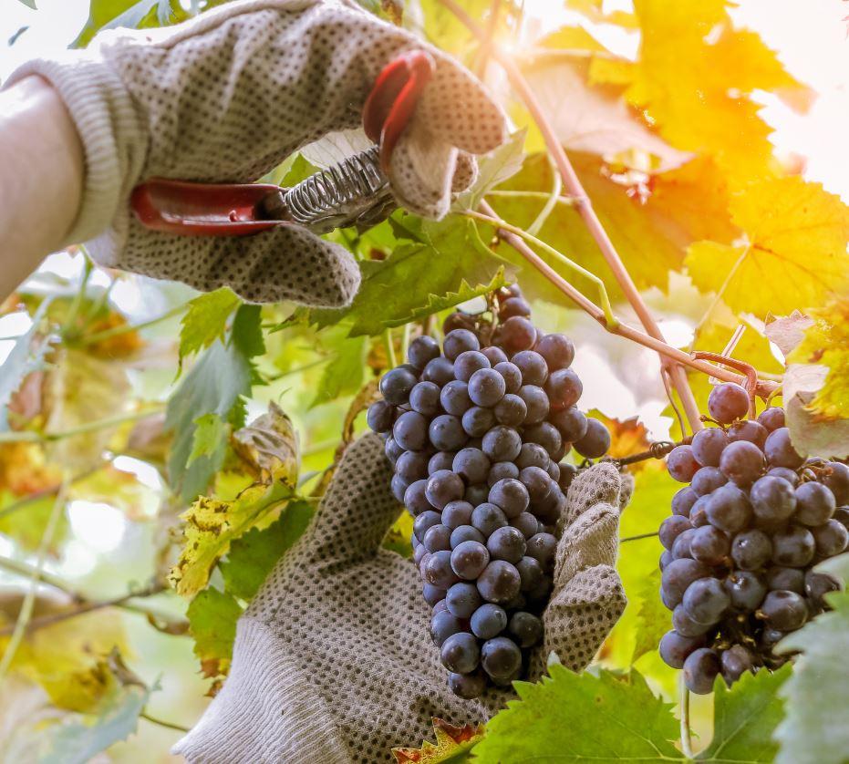 Grape Harvesting Season