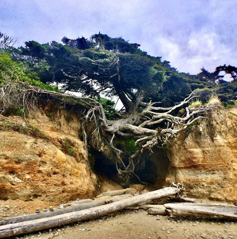 See the Kalaloch Tree Of Life