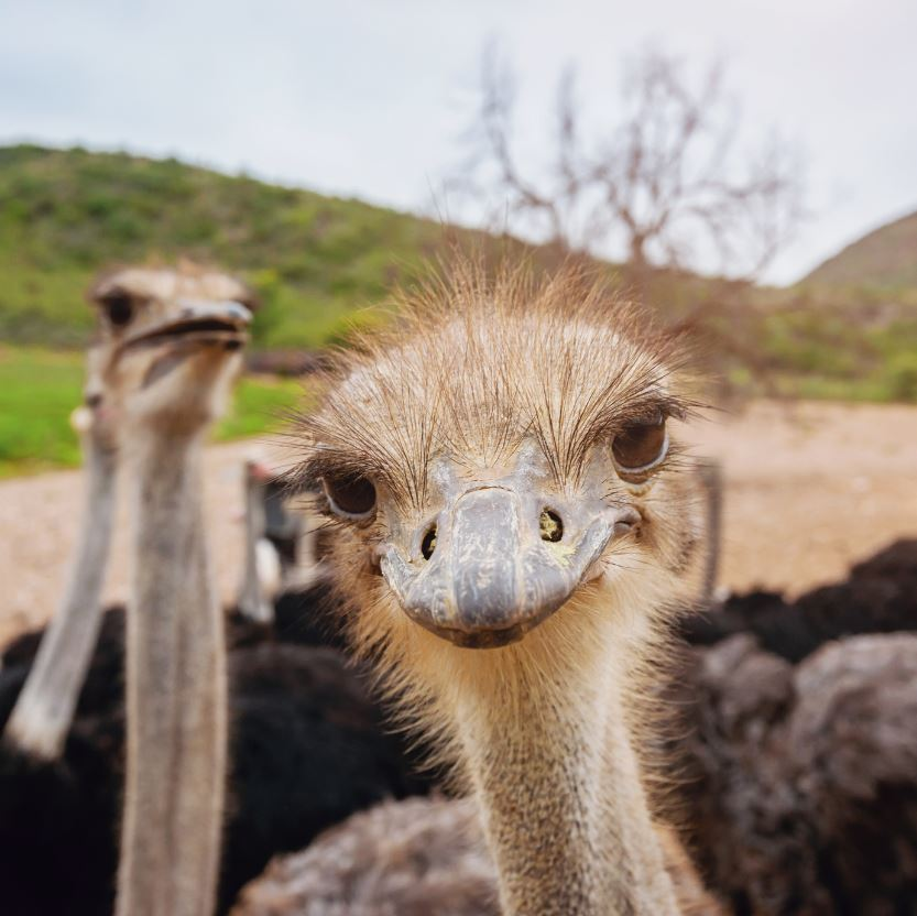 Ostrich Land USA