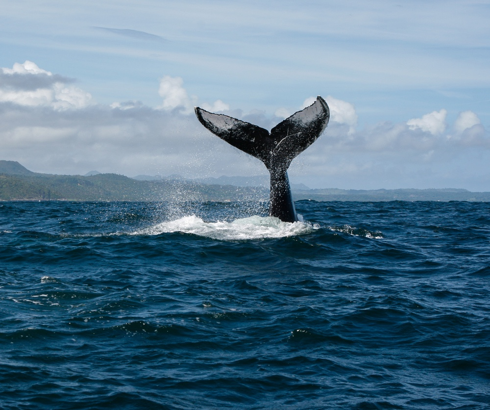 Samana humpback whale DR