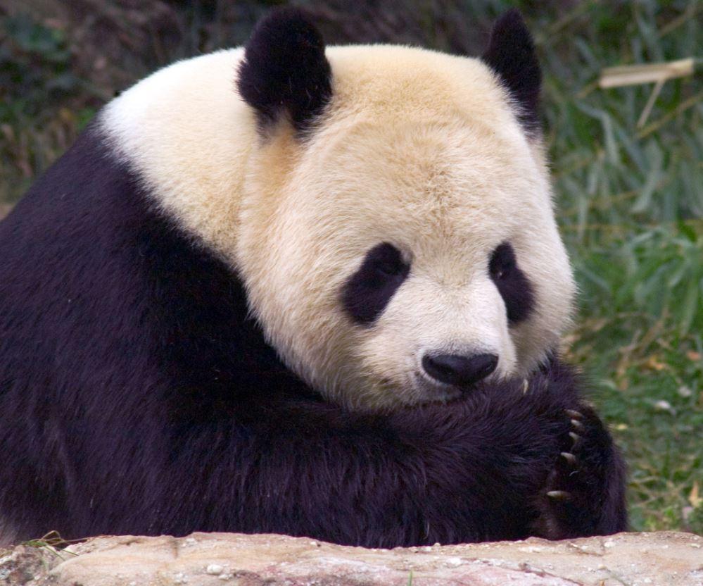 panda washington zoo