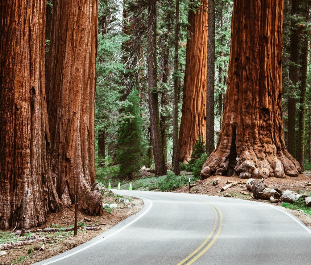 Giant sequoia trees in Sequoia NP