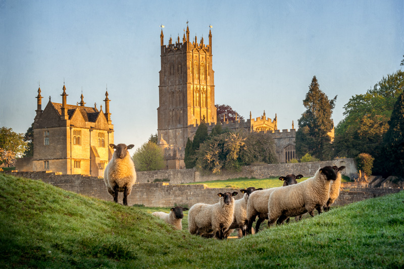 Cotswold sheep near Chipping Campden in Gloucestershire
