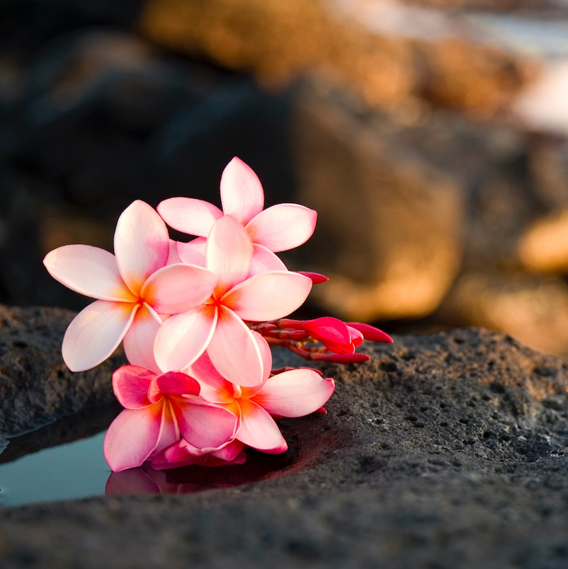 Photograph of Hawaiian frangipani (plumeria) flowers found in Kauai, Hawaii laying on lava rocks with ocean in background; soft, pretty flowers on rugged lava rock toward lower left corner and bottom of frame