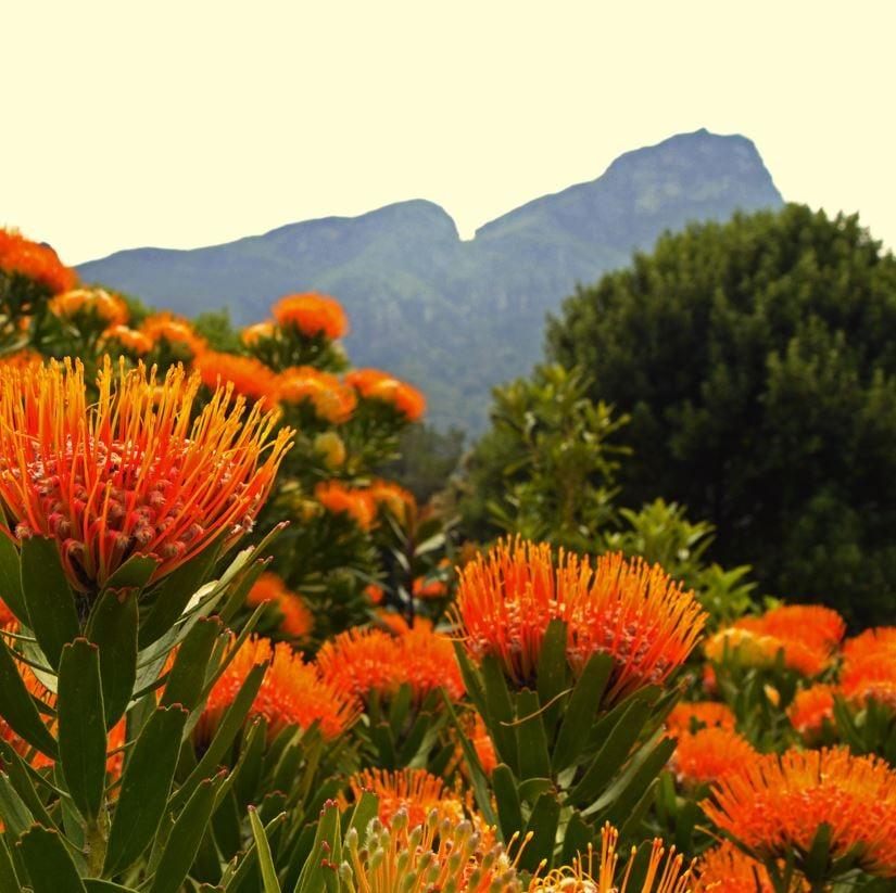 Protea in Kirstenbosch