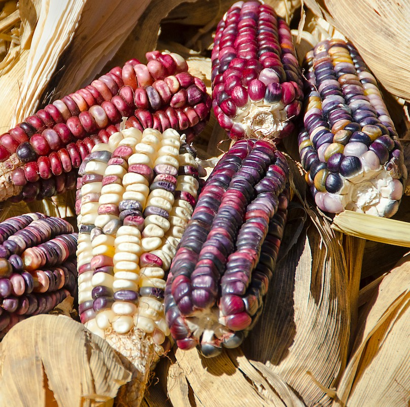 Indigenous multicolored variety of corn (maize), Zea mays, grown in Santa Ana del Valle, Oaxaca, Mexico. Ears 3-5 inches long. This variety is grown separately from the common white variety to prevent cross pollination