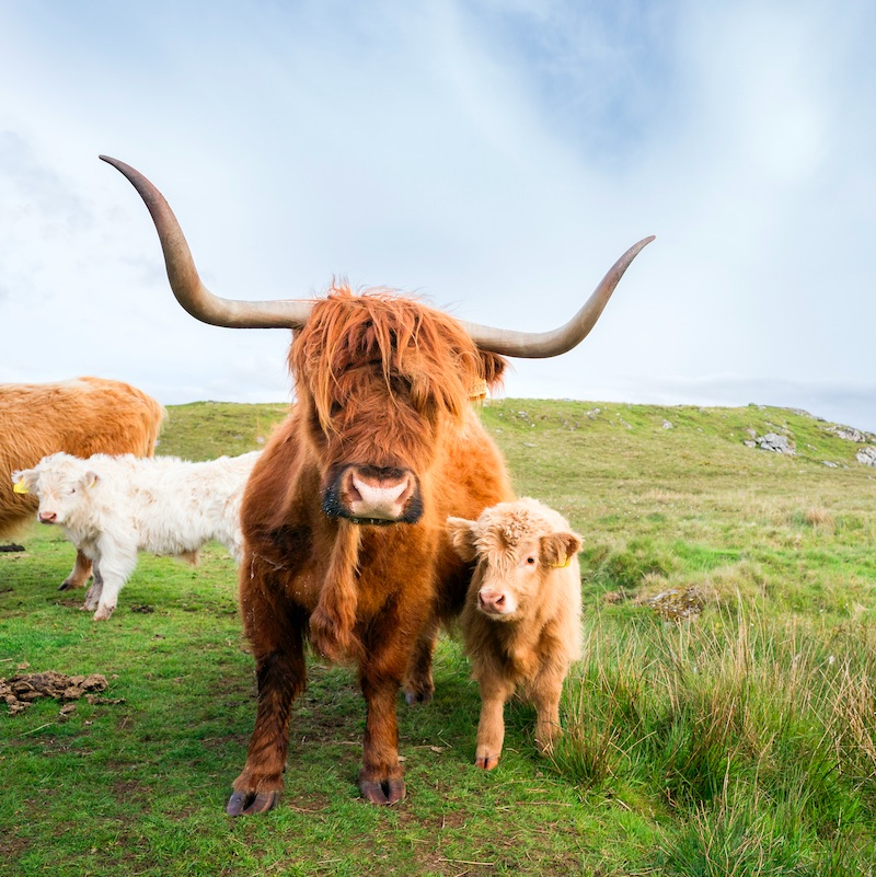 Long horned red-haired Highland cow with her two calves on the moor. Highland cattle, or hairy coos, are a distinctive pedigree breed with long, thick flowing hair and sweeping horns that date from 1884 that thrive in difficult climates and conditions, Isle of Lewis, Outer Hebrides, Scotland, UK, Europe