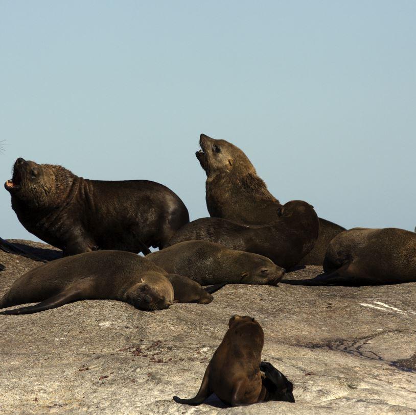 Cape fur seals on rock