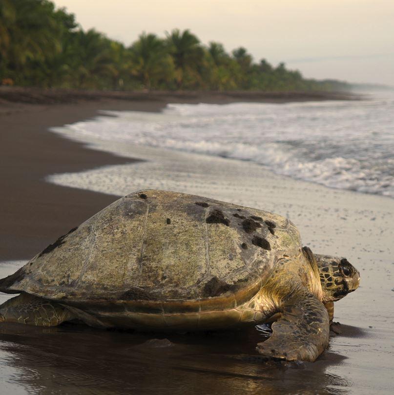 Sea Turtle on beach, Costa Rica
